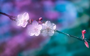 Picture macro, cherry, background, branch, spring, flowering, flowers