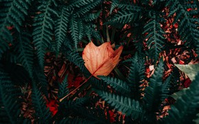 Picture leaves, nature, foliage, plant, dry, fern