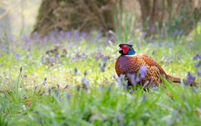 Picture grass, flowers, nature, bird, glade, spring, bells, pheasant