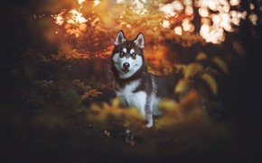 Picture autumn, look, leaves, nature, the dark background, dog, husky, bokeh