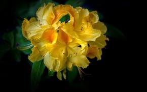 Picture yellow, rhododendron, Azalea