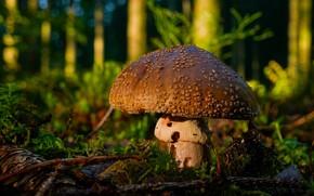 Picture forest, mushroom, mushroom, brown
