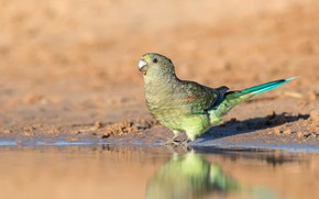Picture green, reflection, background, shore, parrot, pond, parrot