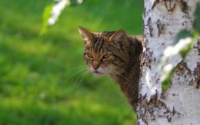 Picture face, tree, portrait, Peeps, wild cat