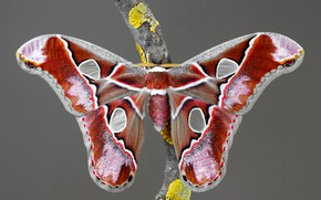 Picture macro, grey, background, pattern, butterfly, branch, insect, red, wings, Emperor moth