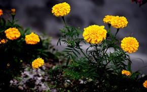 Picture leaves, flowers, the dark background, stems, yellow, garden, flowerbed, marigolds, Bush