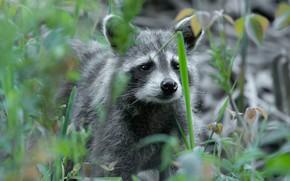 Picture look, face, portrait, raccoon, bokeh