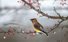 Picture winter, snow, branches, berries, background, bird, fruit, red, grey background, the Waxwing