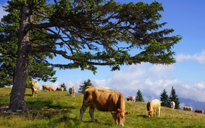 Picture tree, cow, cows, pasture
