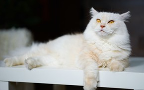 Picture cat, cat, look, bench, pose, the dark background, lies, white, yellow eyes, fluffy, business, collapsed