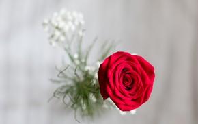 Picture macro, background, rose, Bud, red rose, bokeh