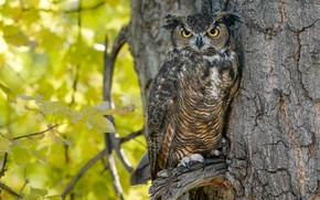Picture autumn, branches, tree, owl, bird, foliage, owl