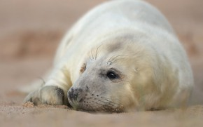 Picture white, look, face, background, seal, baby, lies, cub, cutie, blurred