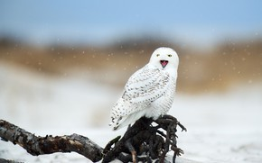 Picture winter, snow, owl, bird, beak, white, snag, snowfall, bokeh, polar, snowy owl