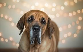 Picture each, dog, Brazilian Mastiff