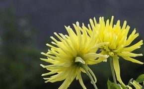Picture background, yellow, dahlias