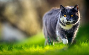 Picture greens, cat, grass, cat, look, light, grey, glade, sneaks, handsome, bokeh, smoky, yellow eyes, white