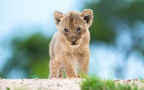 Picture grass, look, pose, background, blue, Leo, baby, face, cub, wild cat, lion, lion, bokeh