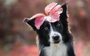 Picture autumn, look, face, sheet, background, leaf, black and white, portrait, dog, leaf, image, decoration, bokeh, ...