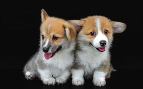 Picture language, dogs, pose, dog, puppies, puppy, black background, a couple, two, two dogs, cute, faces, …