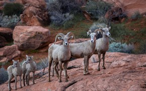 Picture nature, background, Big Horn Sheep