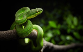 Picture forest, snake, branch, China, hunting, Viper, Trimeresurus stejnegeri, keffiyeh Steineger