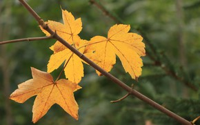 Picture autumn, leaves, close-up, branches, maple