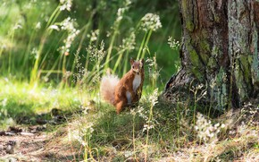 Picture greens, forest, summer, grass, look, light, nature, pose, background, tree, protein, muzzle, trunk, animal, red, ...