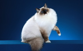 Picture cat, cat, look, blue, pose, background, muzzle, Studio, ragdoll