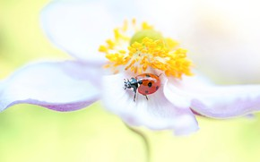 Picture white, flower, macro, red, background, ladybug, beetle, blur, petals, stamens, insect, anemone, bug