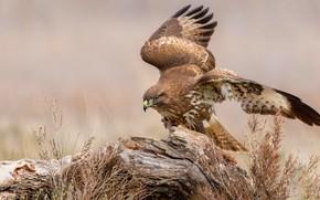 Picture look, pose, bird, stump, wings, snag, hawk, Buzzard