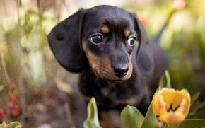 Picture face, flowers, portrait, dog, tulips, Dachshund
