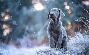 Picture winter, frost, look, snow, pose, grey, dog, puppy, snowfall, bokeh, the Weimaraner