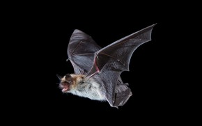 Picture nature, bat, Fringed Myotis