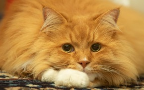 Picture cat, cat, look, face, portrait, fluffy, red