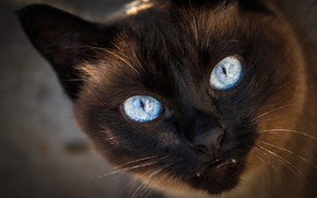 Picture cat, cat, look, face, close-up, portrait, fangs, evil, unhappy, Siamese, blue-eyed, angry cat