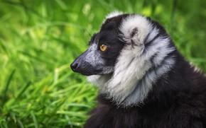 Picture grass, look, face, green, background, black, portrait, mane, profile, lemur, wildlife