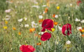 Picture field, summer, flowers, glade, Mac, Maki, meadow, red, white, orange
