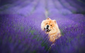Picture field, language, look, face, flowers, pose, portrait, dog, fangs, red, sitting, the ranks, lavender, plantation, …