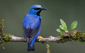 Picture bird, branch, turquoise tanager-honeyeater