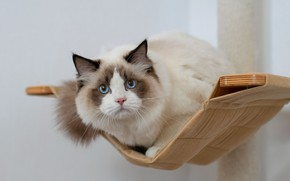 Picture cat, look, muzzle, hammock, blue eyes, Ragdoll, Yuriy Korotun