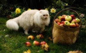 Picture autumn, language, cat, grass, cat, leaves, basket, apples, harvest, fluffy, fold