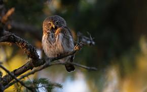 Picture tree, owl, bird, owl