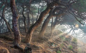 Picture forest, the sun, rays, trees, landscape, nature, stones, pine, South Korea