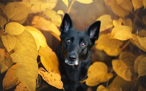 Picture autumn, eyes, look, face, leaves, nature, foliage, portrait, dog, yellow, black, view, autumn