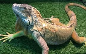 Picture iguana, Iguana, iguana sleeping