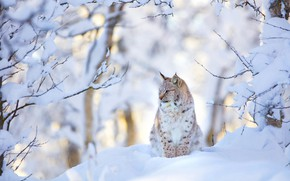 Picture winter, forest, snow, branches, lynx, sitting