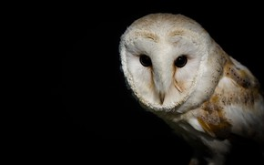 Picture eyes, bird, the barn owl
