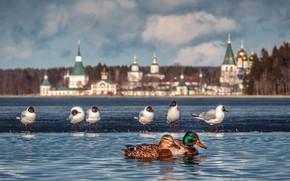 Picture landscape, birds, nature, lake, seagulls, duck, the monastery, Валдай, Тимофей Шутов