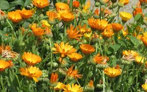 Picture Flowers, Orange, Flowerbed, Calendula, Meduzanol ©, Summer 2018
